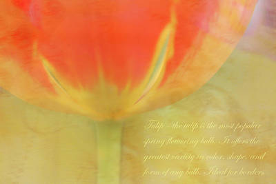 Photograph - Tulip by Catherine Alfidi