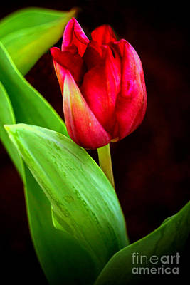 Digital Art - Tulip Caught In The Light by Ian Gledhill