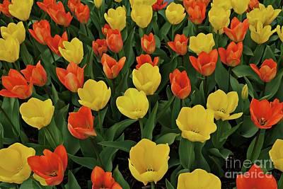 Tulip Chorus Art Print