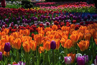 Photograph - Tulip Chrome by Robert Potts