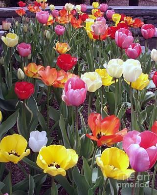 Photograph - Tulip Color Burst by Donna Cavanaugh