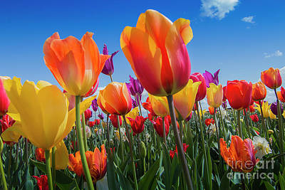 Photograph - Tulip Color by Sonya Lang