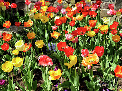 Photograph - Tulip Colors by John Rizzuto