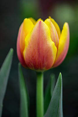 Photograph - Tulip by Dale Kincaid