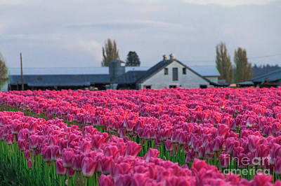 Photograph - Tulip Days End by Louise Magno