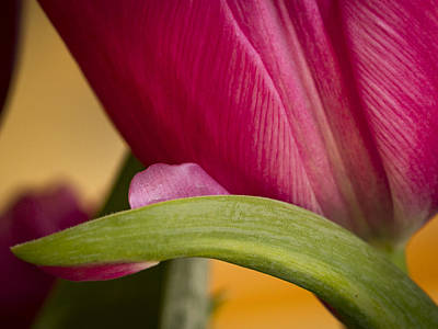 Photograph - Tulip Detail by Jean Noren