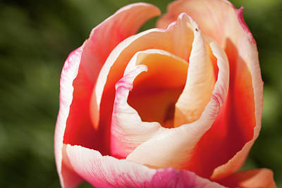 Photograph - Tulip by Devon LeBoutillier