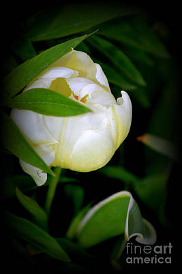 Photograph - Tulip by Diane montana Jansson