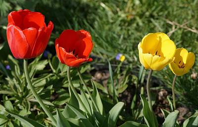 Photograph - Tulip Double Date by Tracey Vivar
