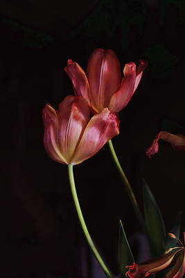 Photograph - Tulip Duet In The Dark by Susan Capuano