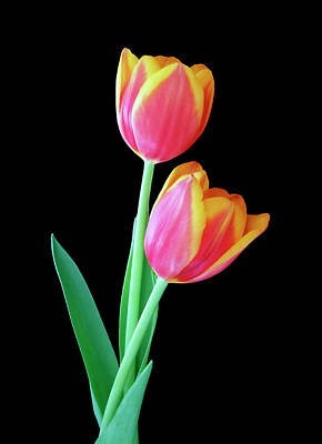 Photograph - Tulip Duo by Johanna Hurmerinta
