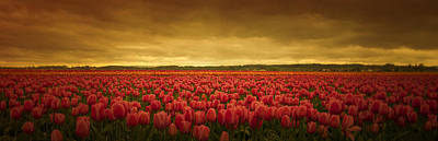 Photograph - Tulip Expanse by Don Schwartz