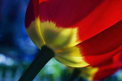 Tulip Expression Wide Art Print by Shawn Young