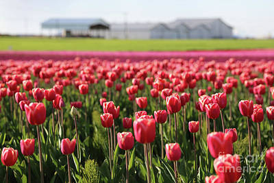 Photograph - Tulip Farm by Carol Groenen