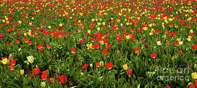 Photograph - Tulip Farm by Jon Burch Photography