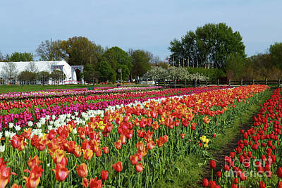 Photograph - Tulip Festival Color by Rachel Cohen
