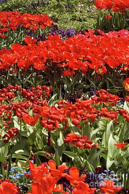 Photograph - Tulip Field 14 by Rudi Prott