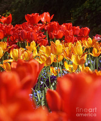 Photograph - Tulip Field 9 by Rudi Prott