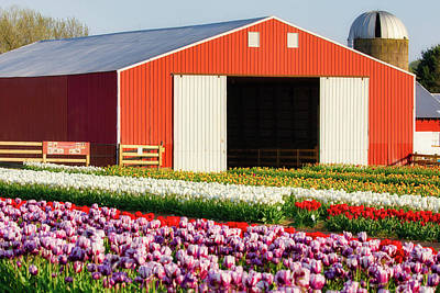 Photograph - Tulip Field And Red Barn by Jerry Fornarotto