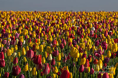 Tulip Field At Dawn - Hd Art Print