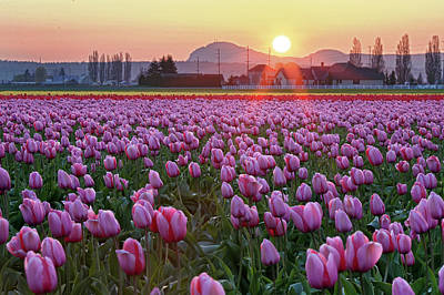 Tulip Field At Sunset Art Print