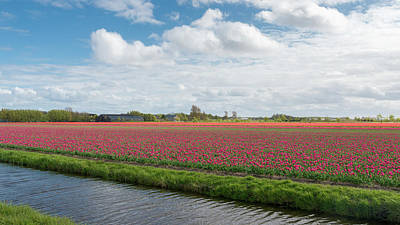 Photograph - Tulip Field In The Netherlands by Alexandre Rotenberg