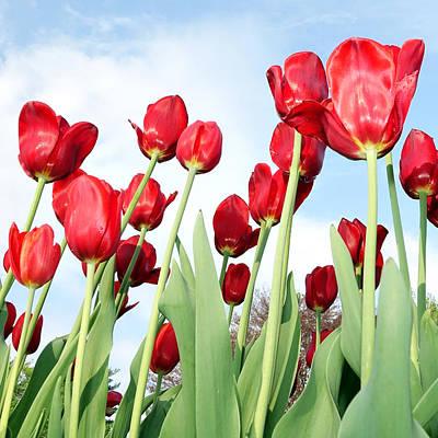 Photograph - Tulip Field by Michelle Joseph-Long