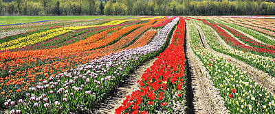 Agassiz Photograph - Tulip Field Panorama by Marion McCristall