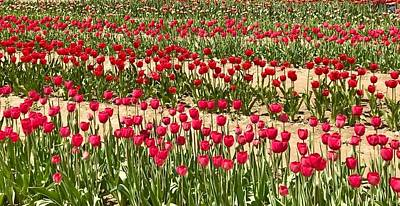 Photograph - Tulip Fields by Caroline Stella