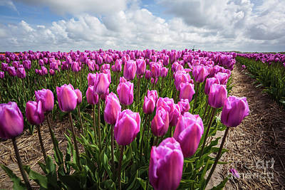 Photograph - Tulip Fields Forever by Eva Lechner