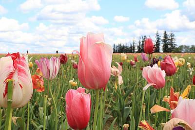 Photograph - Tulip Fields by Steve McKinzie