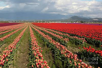 Photograph - Tulip Fields With Mountain And Clouds by Carol Groenen