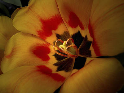 Photograph - Tulip Flair by Nancy Griswold