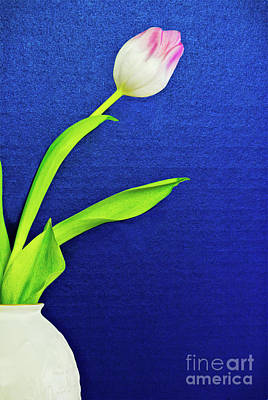 Photograph - Tulip Flower In A Vase With A Blue Background by Vizual Studio