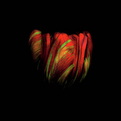 Photograph - Tulip Flower On Black Background Abstract by David Gn