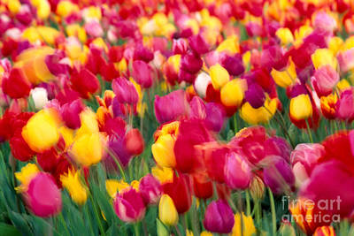 Photograph - Tulip Flowers Blurred by Greg Vaughn - Printscapes