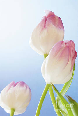 Photograph - Tulip Flowers On Blue Textured Background With Copy Space by Vizual Studio