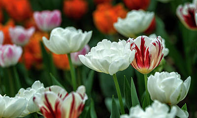 Photograph - Tulip Flowers by Pradeep Raja Prints