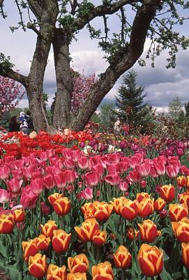 Photograph - Tulip Garden by Ansel Price