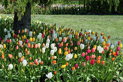 Photograph - Tulip Gardens by Robert Potts