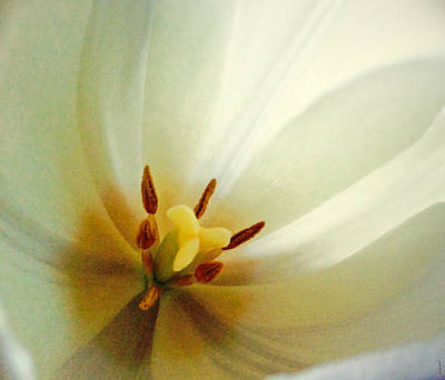 Photograph - Tulip Glow by Gwyn Newcombe