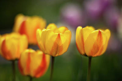 Impressionist Photograph - Tulip Glow by Mike Reid
