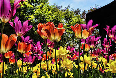 Photograph - Tulip Heaven by Mike Smale