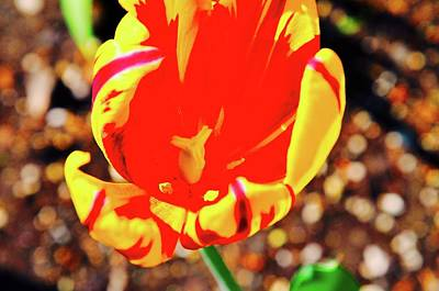 Photograph - Tulip In Anchorage by Joe Burns