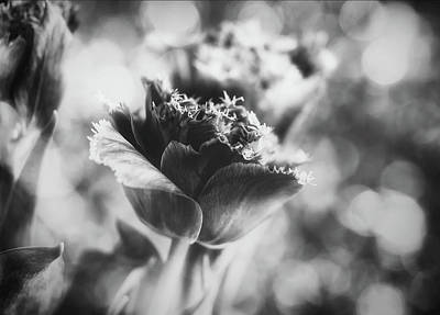 Photograph - Tulip In Black And White by Gabriela Neumeier