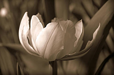 Photograph - Tulip In Sepia by Katie Wing Vigil