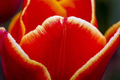Photograph - Tulip In Orange by Teri Virbickis