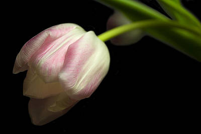 Tulip In Soft Light Art Print
