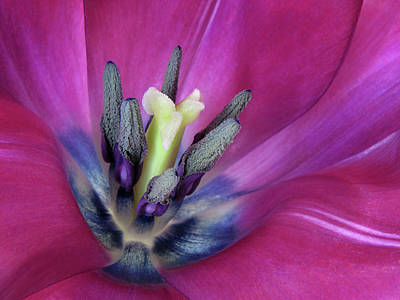 Art Print featuring the photograph Tulip Intimacy by David and Carol Kelly