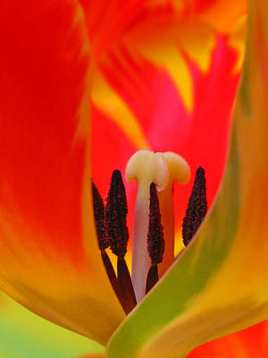 Photograph - Tulip Intimate by Juergen Roth